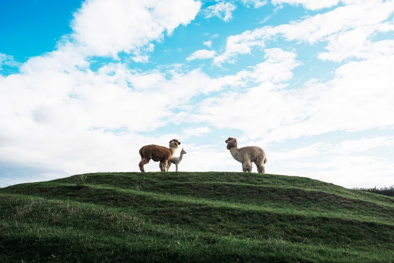 the famous llamas at clanard court hotel, wedding at clanard court, couyple photography