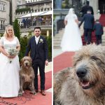 irish wolfhound greets bride and groom at Cabra Castle Wedding